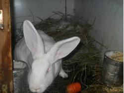vand iepuri urias belgian galati 23 dec 2012