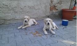 vand labrador retriever sibiu 12 sep 2012