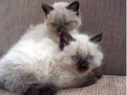 vand pisica birmaneza bucuresti 1 nov 2012