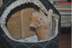 vand pisica persana bacau 10 oct 2012