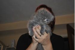 vand pisica persana bacau 23 oct 2012