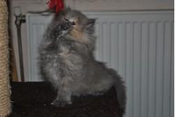 vand pisica persana bacau 23 oct 2012 2