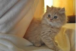 vand pisica persana bacau 30 oct 2012 2