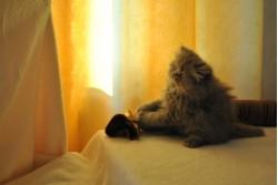 vand pisica persana bacau 30 oct 2012