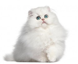 vand pisica persana bucuresti 7 sep 2012