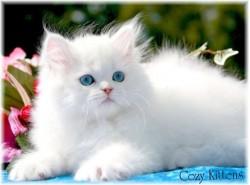 vand pisica persana bucuresti 9 oct 2012