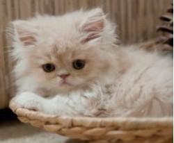 vand pisica persana iasi 17 nov 2012
