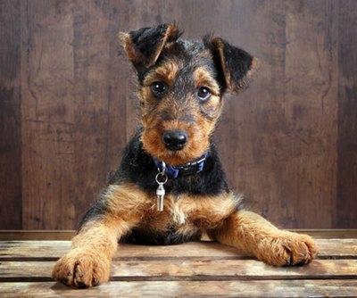 airedale-terrier-decriere-fizica