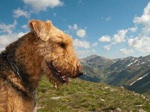 airedale-terrier-profil-vanator