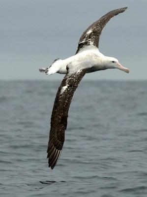 albatros-in-zbor-reproducere