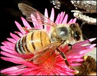 albina-lucratoare-polen
