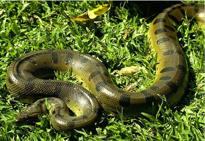 anaconda-in-iarba-schimbarile-mediului-de-viata