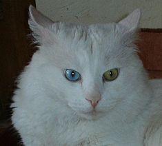 angora-turceasca-culoare-ochi-blana-matasoasa