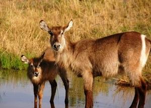 antilopa-de-apa-imagini-dependenta-de-apa