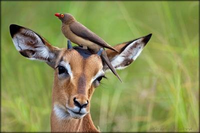 antilopa-impala-imagini-zonele-impadurite