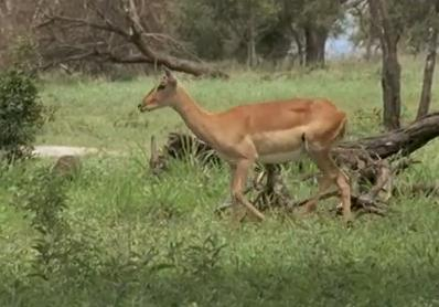 antilopa-impala-in-savana-animal-diurn
