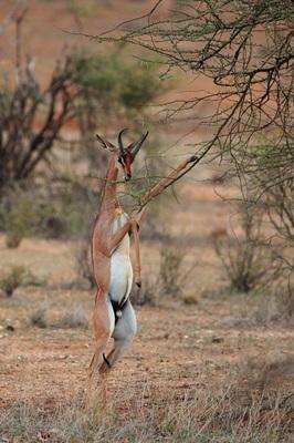 antilopa-in-doua-picioare-animale-carnivore