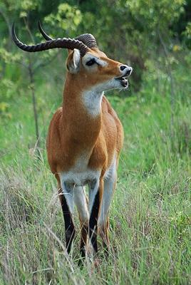 antilopa-kobus-kob-pradatori