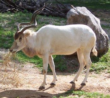 antilopa-mendes-addax-nasomaculatus