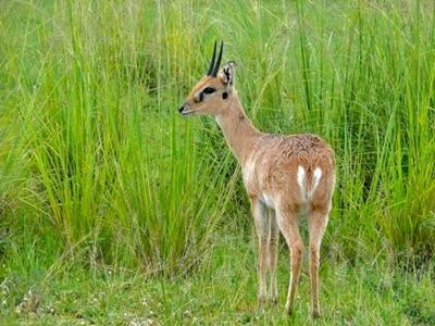 antilopa-oribi-imagini-mamifer-solitar