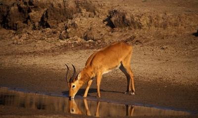 antilopa-puku-kubus-vardonii-poligam