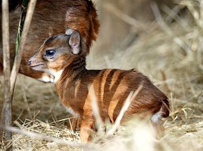 antilopa-regala-coarne-puternice
