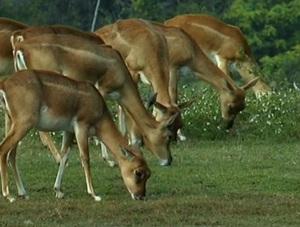 antilope-cu-coarne-spiralate-animal-ierbivor
