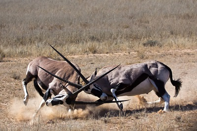 antilope-lupta-animal-erbivor