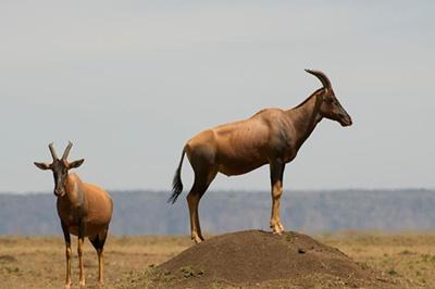 antilope-sasabi-apa