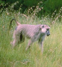 babuin-in-iarba-apa