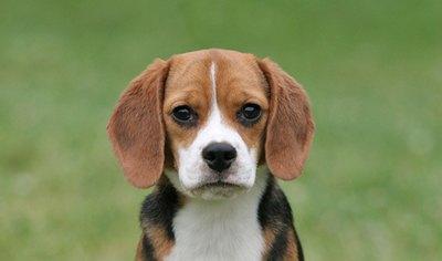beagle-prietenosi