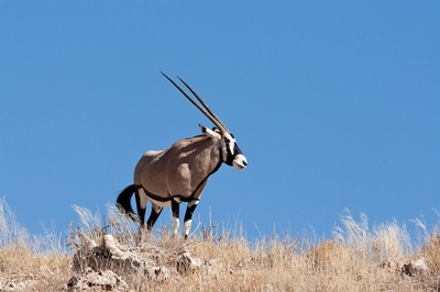 beisa-sud-africana-oryx-gazella-animal-poligam