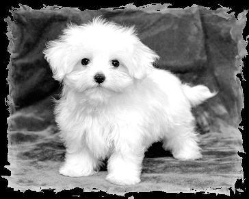 bichon-maltez-imagine-alb-negru-adorabil