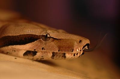 Boa-constrictor-rozatoare