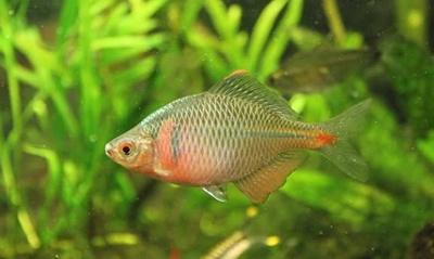 boarta-asiatica-in-acvariu-omnivora