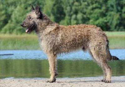 caine-laekenois-afara-animale-de-companie