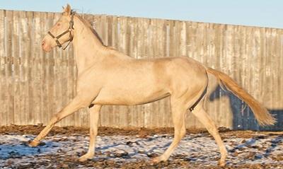 cal-Akhal-Teke-cursele-de-cai