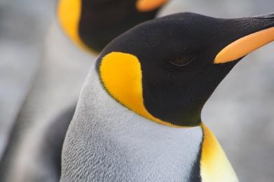 cap-pinguin-imperial-monogam