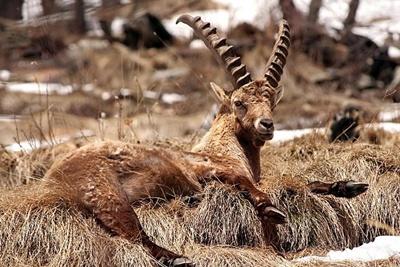 capra-ibex-pe-iarba-uscata-blana