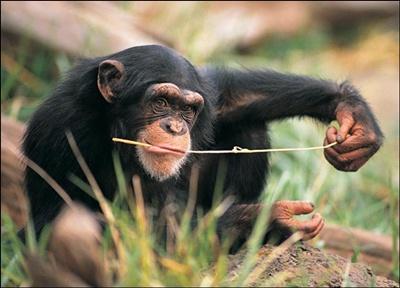 chimpanzeu-hranindu-se-animale-diurne