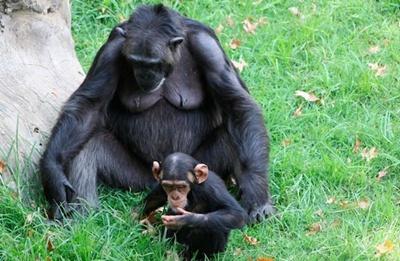 cimpanzeu-mama-si-pui