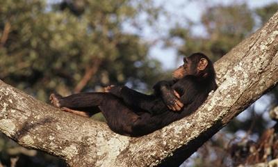 cimpanzeu-odihnindu-se-copaci