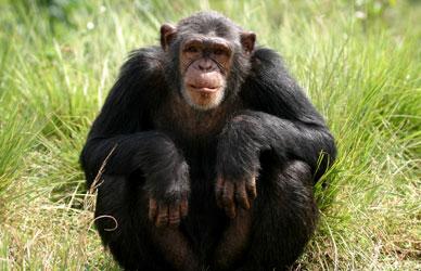 cimpanzeu-stand-padurile-tropicale