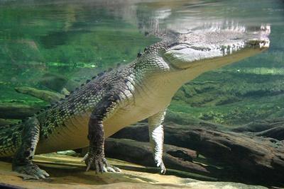 crocodil-apa-animale-solitare
