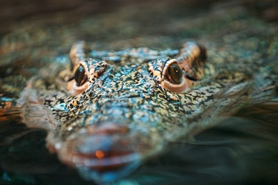 crocodil-in-apa-solzi-puternici