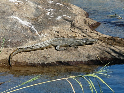 crocodil-pe-pamant-vederea-binoculara