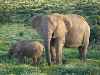 elefant-african-cu-pui-fiinte-sociale