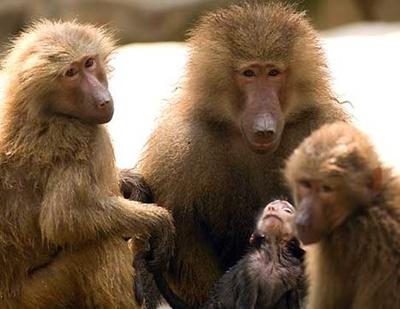 familie-de-babuini-omnivori