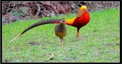 fazan-femela-si-mascul-pasare-poligama