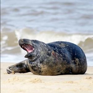 foca-blana